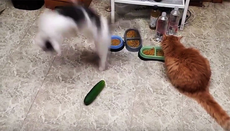 cats--vs-cucumbers3